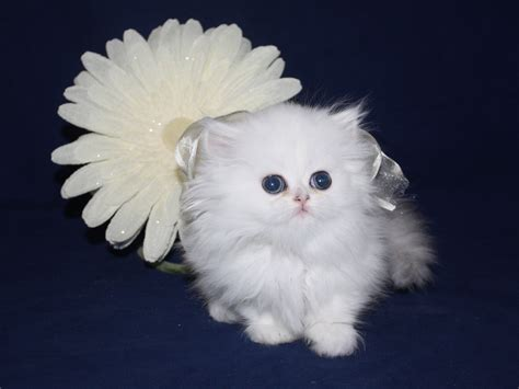 Teacup Kittens For Sale by Breeders in Florida   Cats Creation