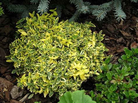 Euonymus fortunei Emerald 'n' Gold   We have several of